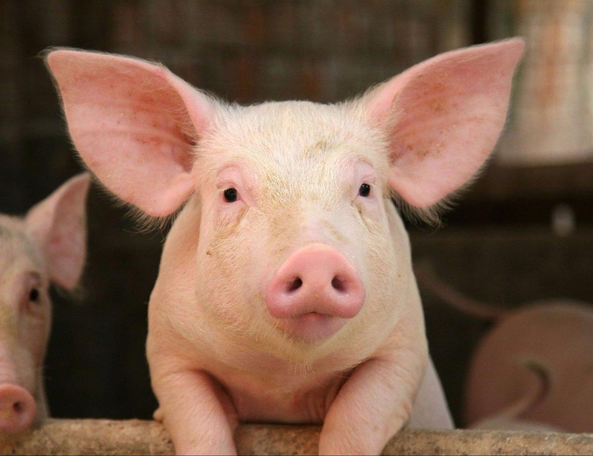 इस वजह से लोग नहीं खाते हैं सुअर के मांस को